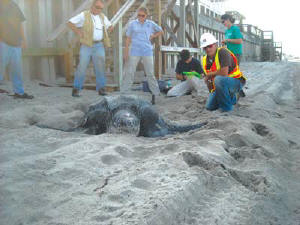 Ranger's Tyler Smith and several turtle nest monitors take note of a rare daytime nesting event. The giant creatures usually come ashore at night to lay their eggs. (Photo by Bob Schafer)